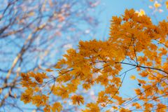 Maple foliage in the foreground. Autumn maple foliage in the foreground against the sky background Stock Images