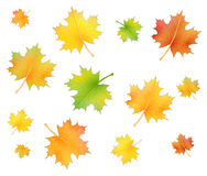 Maple foliage set Royalty Free Stock Photo
