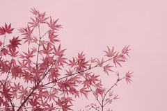 Maple foliage Royalty Free Stock Image