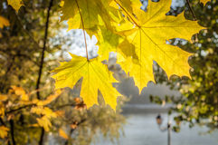 Maple foliage in sun light Royalty Free Stock Photos