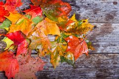 Maple foliage on the table. Colorful maple foliage on the vintage wooden table stock image