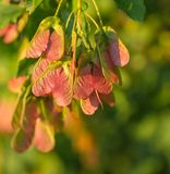 Maple foliage and winged fruit samara Royalty Free Stock Image