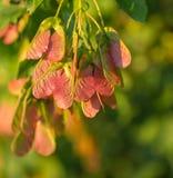 Maple foliage and winged fruit samara Royalty Free Stock Image