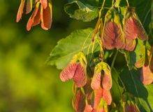 Maple foliage and winged fruit samara Royalty Free Stock Photo