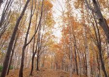 Maple forest. The scenery of Ullswater in the Lake District Royalty Free Stock Photography