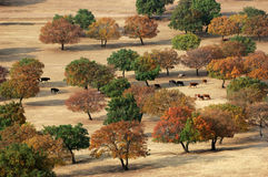Maple Forest. The cattle are passing by maple trees in the grassland of Eastern Inner Mongolia, China Royalty Free Stock Images