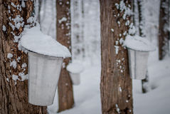 Maple syrup sap buckets on maple trees in a winter woods. royalty free stock photography