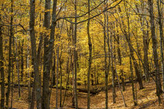 Maple forest floor, autumn Stock Images