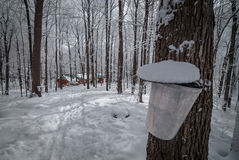 Maple syrup sap bucket and maple sugar shack in a winter woods. A walk through a fresh fallen snow covered woods and a visit to the maple syrup bush sugar shack Royalty Free Stock Image