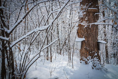 Maple syrup sap buckets on maple trees in a winter woods. Stock Image