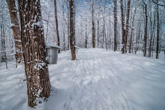 Maple syrup sap buckets on maple trees in a winter woods. Royalty Free Stock Image