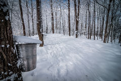Maple syrup sap buckets on maple trees in a winter woods. Stock Photos