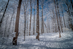 Maple syrup sap buckets on maple trees in a winter woods. Royalty Free Stock Photos