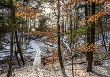 Maple Forest In Winter. Orange Leaves glowing sun sunsetrn Stock Photos