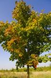 Maple Genus Acer at autumn Stock Image