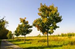 Maple Genus Acer at autumn Stock Photo