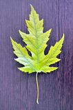 A gust of wind calm. Maple is a genus of trees and shrubs of the family of Spinduliu, previously placed in the family of Maple . Widespread in Europe, Asia and Royalty Free Stock Photography