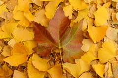 Maple and ginkgo leaves Royalty Free Stock Photography