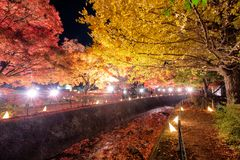Maple and Ginkgo trees corridor with decorative light up in autu. Mn festival at Kawaguchiko, Japan Royalty Free Stock Image
