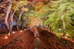 Maple and Ginkgo trees corridor with decorative light up in autu. Mn festival at Kawaguchiko, Japan Royalty Free Stock Images