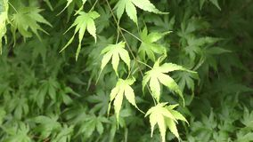 Maple green branch stock footage