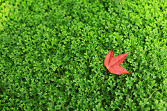 Maple with green grass background. Colorful Autumn Background: red maple with green grass background Stock Photo