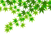 Maple green Stock Photography