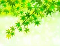 Maple green Royalty Free Stock Photos
