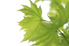 Maple green leaf Royalty Free Stock Image