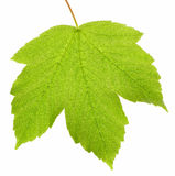 Maple green leaf Stock Image