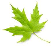 Maple green leaf Stock Photo