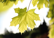 Maple, green leaf Royalty Free Stock Images
