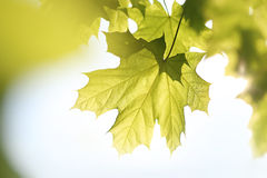 Maple, green leaf Stock Image