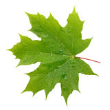 Maple green leaf with water drops Royalty Free Stock Photography