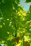 Maple with green leaves in the autumn. On a background of the blue sky Stock Image