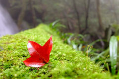 Maple on green plant. In forest near water fall Stock Photos