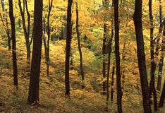 Free Maple Grove In Fall Royalty Free Stock Images - 20617749