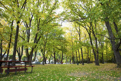 The maple grove in the park. In New Zealand Stock Photos