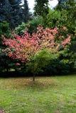 Maple grows in Japan. Acer cissifolium Siebold et Zucc Stock Image