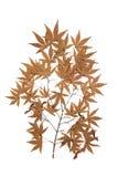 Maple herbarium isolated Stock Photo