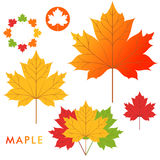 Maple Royalty Free Stock Photo