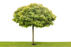 Maple isolated tree Royalty Free Stock Photography