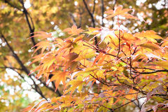 Maple Japan Stock Photos