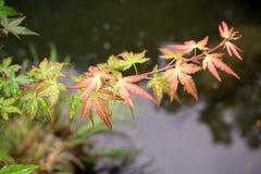 Maple Japan Royalty Free Stock Photo