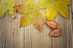 Maple and koelreuteria paniculata leaves on wooden background Royalty Free Stock Image
