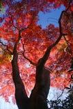 Maple in kyoto Stock Photos