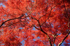 Maple in kyoto Royalty Free Stock Photos