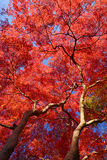 Maple in kyoto Stock Images
