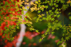 Maple in kyoto Royalty Free Stock Photography