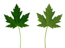 Maple Leaf 1 (Front And Back) Stock Photography